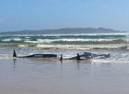 Сотні китів викинулися на берег Тасманії