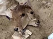 Двуглавый теленок появился на свет в Индии