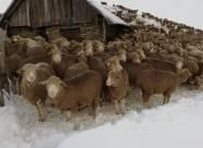 Из-за раннего снегопада во французских Альпах застряли 6 тысяч овец и пастухи