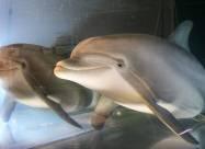 В США создали робота-дельфина, который однажды сможет заменить животных в неволе