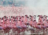 У Казахстані рожеві фламінго сіли перепочити на озері Караколь