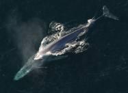 Через 50 років в Атлантику повернулися сині кити. Відео