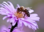Создана первая глобальная карта распространения пчел