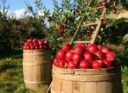 Українці розробили екологічно безпечний метод захисту садів від парші