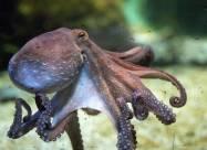 В Японии обнаружен редкий осьминог