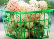В США анонсировали продажу белого сорта земляники
