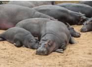 Екосистемам Колумбії загрожують десятки бегемотів Пабло Ескобара