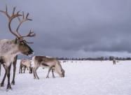 У Швеції побудують мости для північних оленів