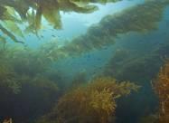 Морська капуста допоможе боротися з глобальним потеплінням