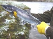 На Землі катастрофічно скорочується кількість прісноводних риб