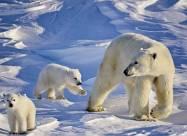 Потепління змусило білих ведмедів витрачати в чотири рази більше енергії