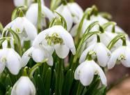 Весна на пороге: в Закарпатье расцвели первоцветы