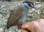 На Борнео обнаружили птицу, которую 170 лет считали вымершей
