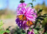 Из-за повышения осенних температур в США исчезают бабочки