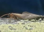 Знайдену в Косово комаху назвали на честь коронавіруса