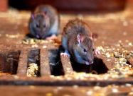 «Крысиная чума» в Великобритании
