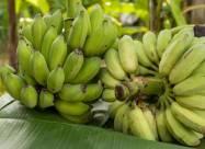 Миру предрекли дефицит чипсов и бананов