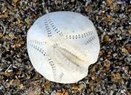 На побережье Великобритании выбросило тысячи необычных ракушек