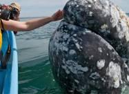 Величезний сірий кит помічений біля берегів Італії. Відео