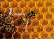 Пчёл научили выявлять коронавирус