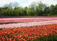 В Черновицкой области открыли тюльпанные поля. Видео
