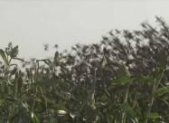 На севере Камеруна птицы уничтожили урожай проса