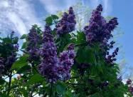 ФОТО. В киевском ботаническом саду расцвели аллеи сирени