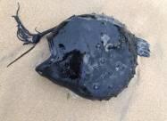 На берег Каліфорнії викинуло рідкісну рибу