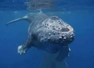 Ныряльщик попал в пасть кита и выжил