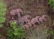 Бродячі слони розоряють Китай і відпочивають у перервах