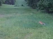 Олень захищає кролика від яструба. Відео