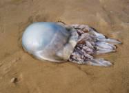 Вчені пояснили причину появи величезної кількості медуз в Азовському морі