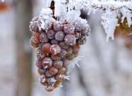 Через втрату врожаю в усьому світі зростають ціни на вино