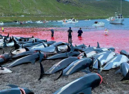 На Фарерских островах убили почти 1500 дельфинов за раз