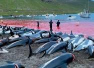 На Фарерських островах вбили майже 1500 дельфінів за раз