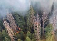 Лісові пожежі загрожують найвищим деревах в світі