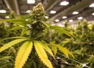 Спортсменам могут отменить запрет на употребление марихуаны