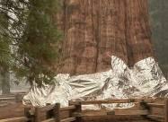 Найбільше в світі дерево завернули в захисну ковдру, щоб захистити від пожежі