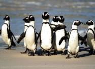 Бджоли вбили південноафриканських пінгвінів, які знаходяться під загрозою зникнення