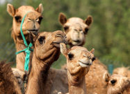В ОАЭ клонируют верблюдов для выступлений на конкурсах красоты
