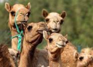 В ОАЕ клонують верблюдів для виступів на конкурсах краси