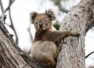 За три года Австралия потеряла почти треть своей популяции коал