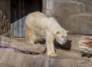 Самый старый белый медведь в Северной Америке был усыплен в возрасте 36 лет