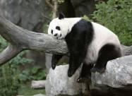 Панди в дикій природі не хочуть заводити потомство
