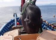 Біля берегів Іспанії виловили двотонну рибину