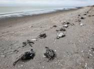 Берег озера Сиваш в Крыму усыпало мёртвыми утками