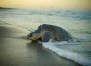 Сотни мертвых морских черепах найдены на пляже в Мексике