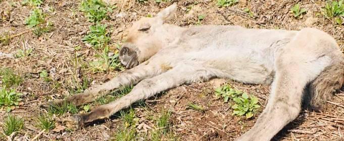 У Чорнобильській зоні відчуження врятували лоша коня Пржевальського. Відео