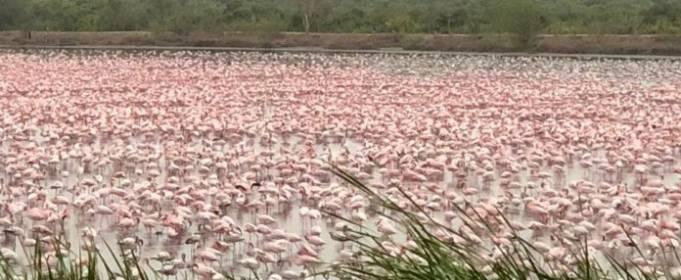 Тисячі рожевих фламінго прилетіли до Мумбаї