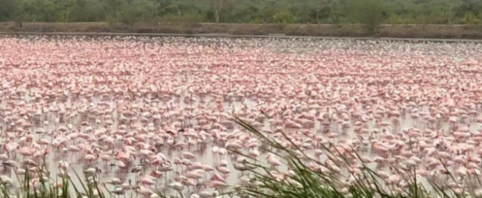 Тысячи розовых фламинго прилетели в Мумбаи